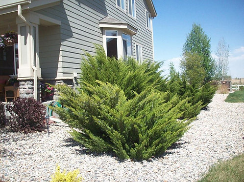 Juniperus x Pfitzeriana (Juniper) 'Sea Green'