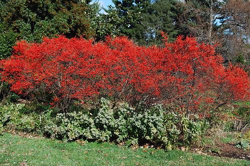 Ilex Verticillata 'Sparkleberry' Winterberry