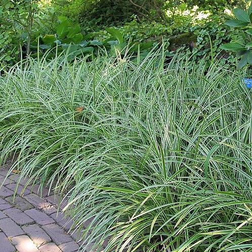 Carex (Japanese Sedge Grass) 'Ice Dance'