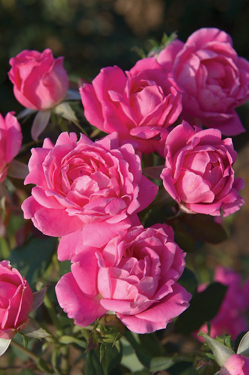 Rose: Knock Out 'Pink Double'