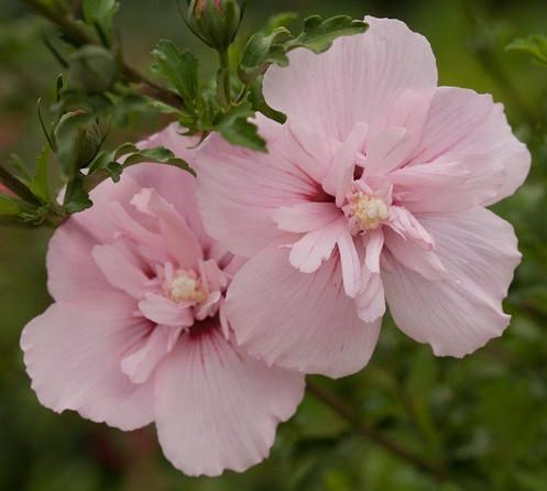 Hibiscus Syriacus Rose Of Sharon Pink Chiffon