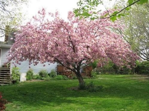 prunus serrulata flowering pink cherry kwanzan deciduous ornamental profuse bloom specimen