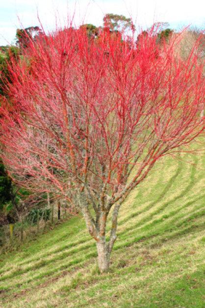 Acer Palmatum (Japanese Maple) 'Coral Bark'