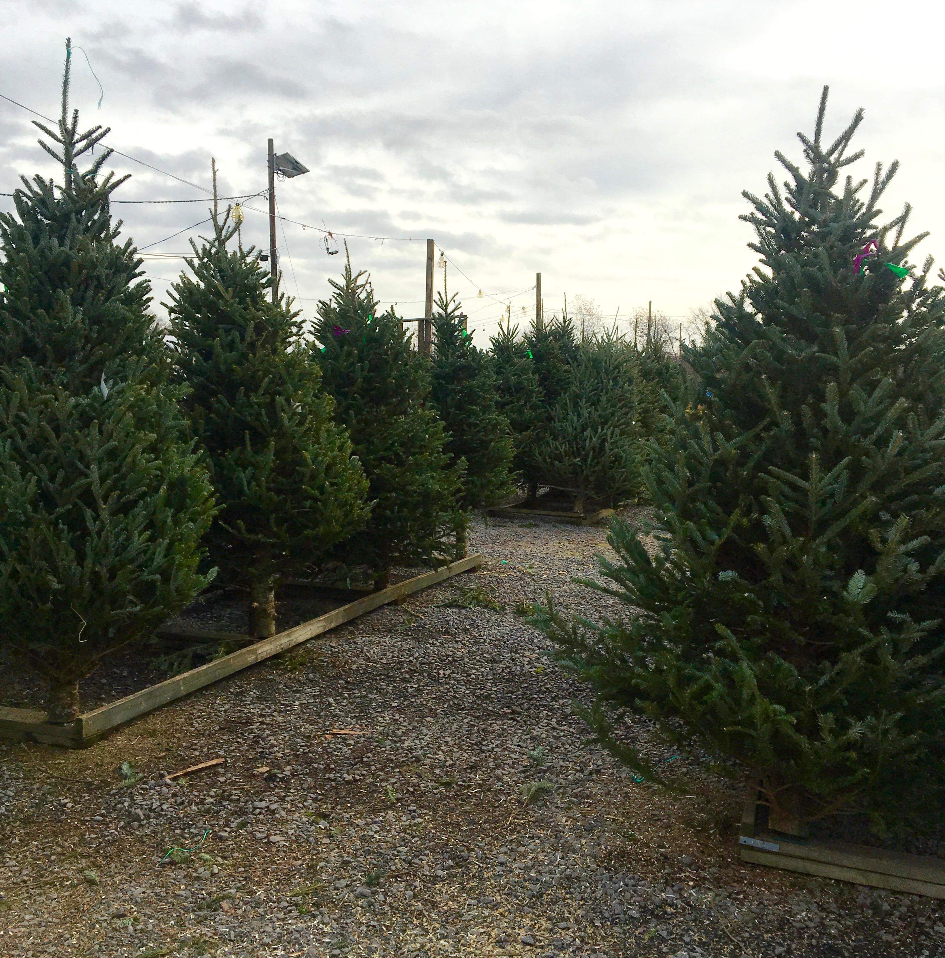 christmas tree selection 4