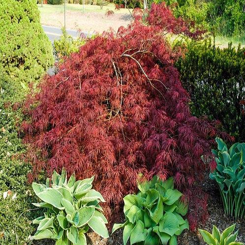 acer palmatum japanese maple deciduous thread leaf threadleaf purple dissectum deer resistant