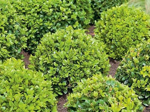 Buxus Sempervirens (Boxwood) 'English'