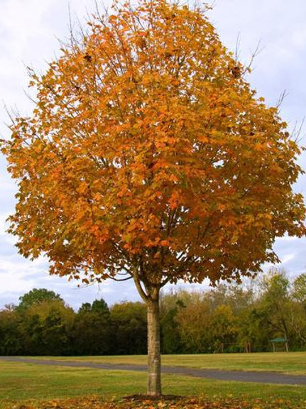 acer saccharum sugar maple green mountain shade deciduous fall interest