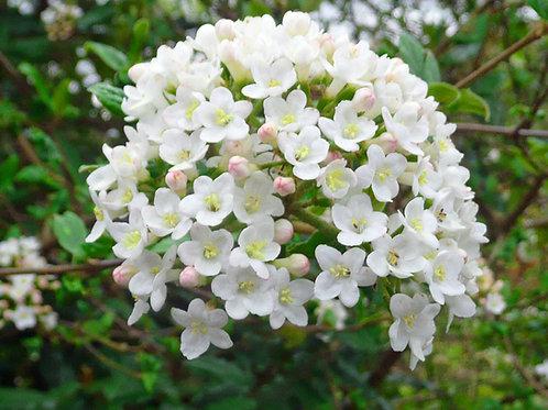 Viburnum 'Carlcephalum'