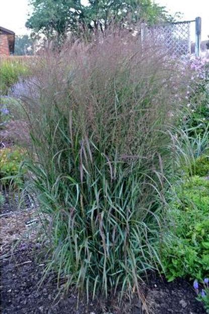 Switch Grass: Prairie Winds 'Apache Rose'