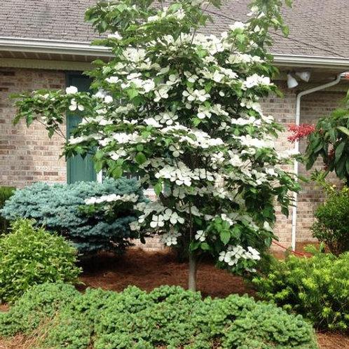 cornus dogwood venus ornamental white flowers