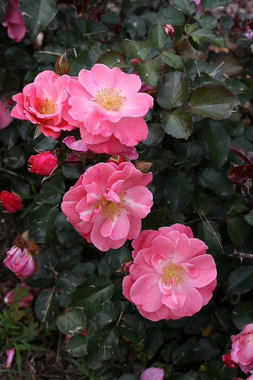 Rose: Oso Easy 'Pink Cupcake'