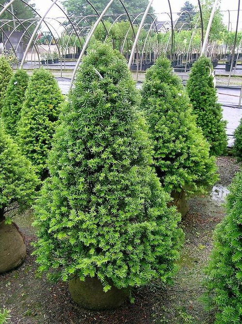 Taxus x Media  (Pyramidal Yew)