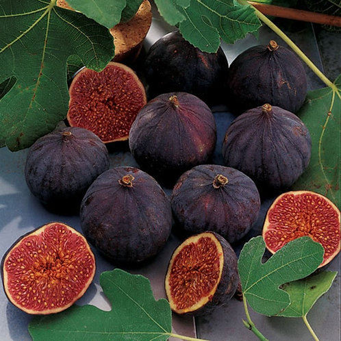 Fig Tree 'Chicago Hardy'