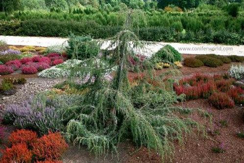 Juniperus Communis (Juniper) 'Horstmann Weeping'