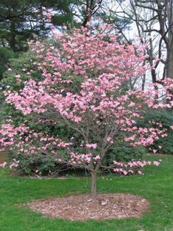 cornus florida dogwood cherokee brave pink flowers ornamental deciduous deer resistant