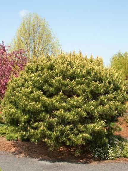 Pinus Densiflora (Tanyosho Pine)