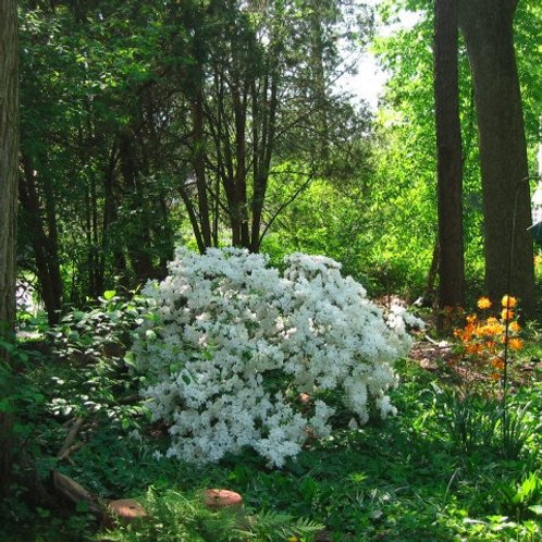 Azalea 'Delaware Valley White'