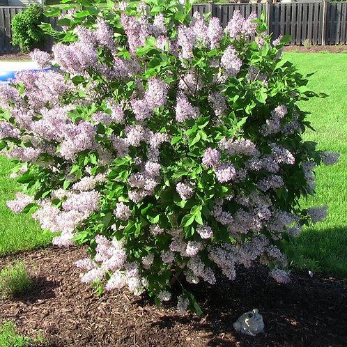 Lilac (Syringa Pubescens) 'Miss Kim'