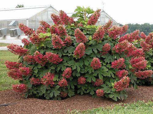 Hydrangea Quercifolia (Oakleaf Hydrangea) 'Ruby Slippers'