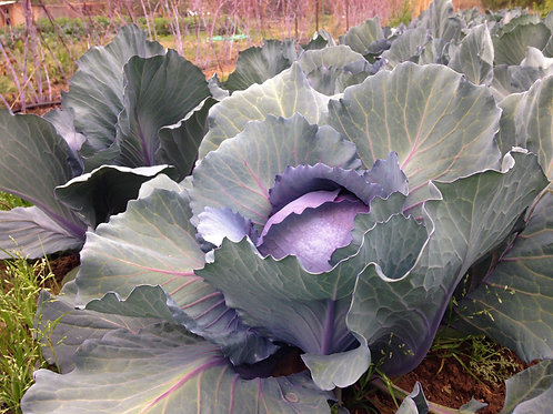 'Red Express' Cabbage