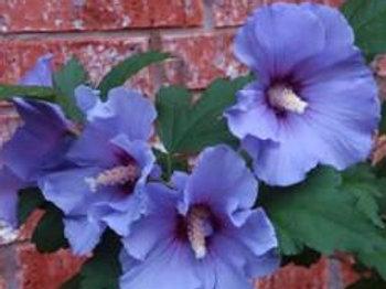 Hibiscus Syriacus (Rose of Sharon) 'Blue Satin'