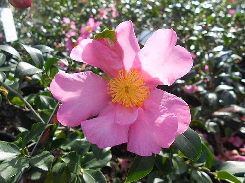 Camellia Japonica (Camellia) 'Cleopatra'