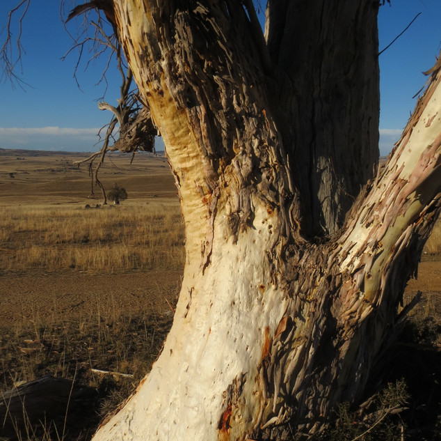 Gum tree above the Monaro