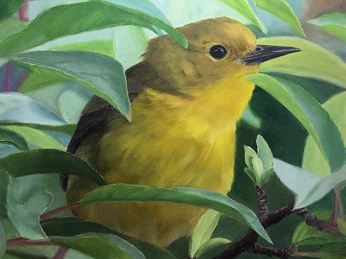 """Peeking Prothonotary Warbler"" Oil on Linen 16 x 20"