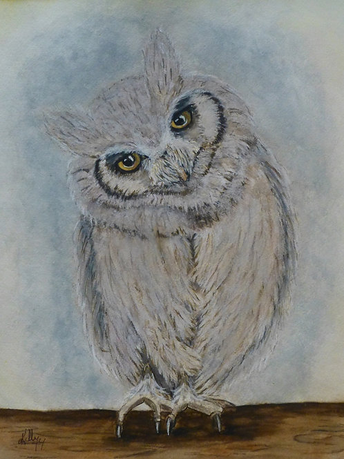 Northern White Face Scops Owl