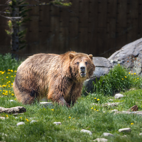 Montana's wildlife heritage is at risk