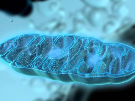 กลไกของความชรา – 5 : สภาวะอ่อนล้าของไมโตคอนเดรีย