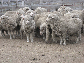 5c sheep_0043.JPG