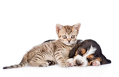 kisspng-basset-hound-cat-kitten-puppy-pe