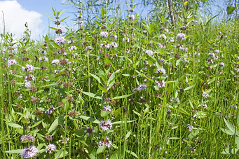 A field of flowers uses for herbal medicine