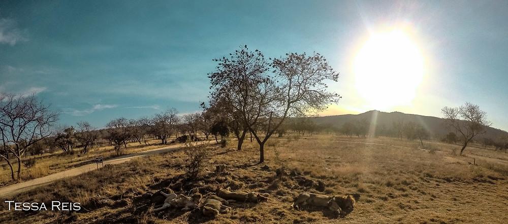 Pôr do sol e os leões - Lion Park, Joanesburgo