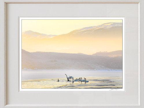 Shaun Egan Swans on Mulroy Bay, Co. Donegal
