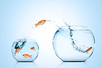 Goldfish jumping from a small fishbowl to a larger one