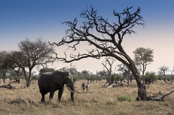 3._khwai_tented_camp_elephant_walking_safari