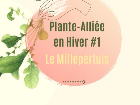 Le Millepertuis - Plante-Alliée de l'hiver #1