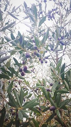 olivi_foglie.jpg