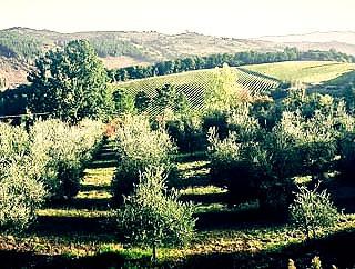 My olive grove