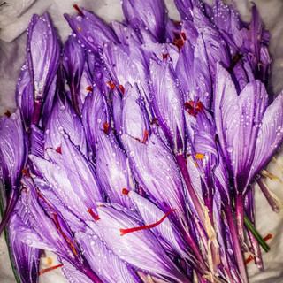 Saffron's flower ready to be dryed