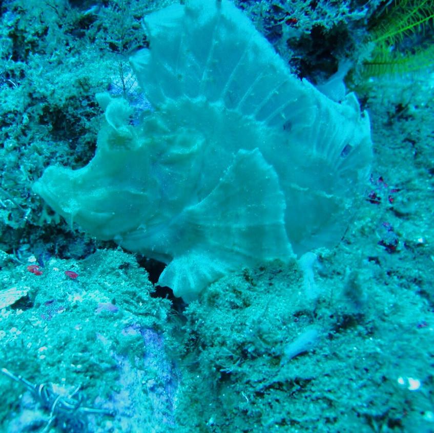 rare scorpion fish