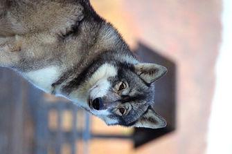 Husky, Huskyzucht, Huskyerlebnisse, Husky-Erlebnisse, Schlittenhunde, Schlittenhundefahrt, Huskytour, Bayern, Altmühltal, Dietfurt, Welpen, Steiger, Trekking, Wandern, Huskyshooting, Huskies, Huskys, Sibirien Husky, Siberian Husky, Erlebnis, Abenteuer, Geschenk, of Snow Wolf Valley, Huskyranch, Huskykennel, Baghira, Kenai, Suma, Daja, Shanti, Apanatschi, Apache, Nayeli, Navaja, Chilko, Dyani, Diego, Nscho-tschi, Holly, Gucci, Akela, Zazu, Timber, Inuki, Ishani