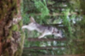 Husky, Huskyzucht, Huskyerlebnisse, Husky-Erlebnisse, Schlittenhunde, Schlittenhundefahrt, Huskytour, Bayern, Altmühltal, Dietfurt, Welpen, Steiger, Trekking, Wandern, Huskyshooting, Huskies, Huskys, Sibirien Husky, Siberian Husky, Erlebnis, Abenteuer, Geschenk, of Snow Wolf Valley, Huskyranch, Huskykennel, Baghira, Kenai, Suma, Daja, Shanti, Apanatschi, Apache, Nayeli, Navaja, Chilko, Dyani, Diego, Nscho-tschi, Holly, Gucci, Akela, Zazu, Timber, Inuki, Ishani, VDH, DCNH, FCI, Hundezucht