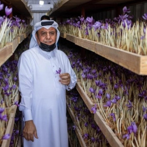 """For the first time in Qatar, the cultivation of """"Red Gold"""" ... a successful quality experience"""