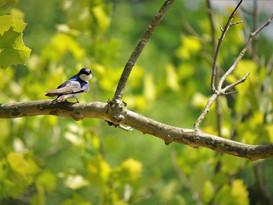Tree Swallow #2