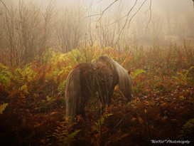 Grayson Highlands Ponies #4