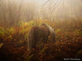 Grayson Highlands Ponies #4
