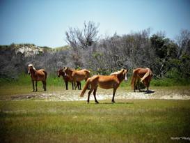 Horses of Shackleford Banks NC #1